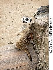 stående, av, a, meerkat, (suricata, suricatta)