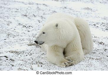 stående, av, a, polär, bear.