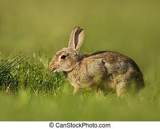 stående, av, a, ung, litet, kanin, in, den, äng