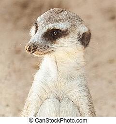 stående, av, a, vacker, suricata, hos, den, zoo