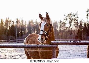 stående, av, kastanje, häst, in, vinter, solnedgång