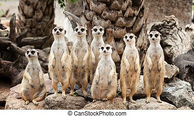 stående, av, meerkat, familj