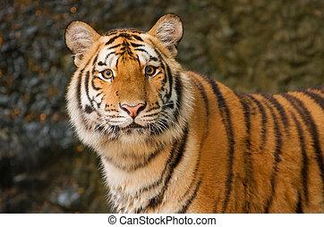 stående, av, sibirisk tiger