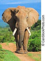 stående, elefant