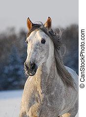 stående, grå, andalusian, häst