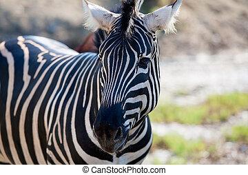 Stående, horisontal, afrikansk,  zebra, synhåll