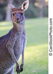 stående, känguru, australien