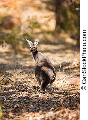 stående, känguru