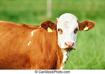 stående, ko, brun