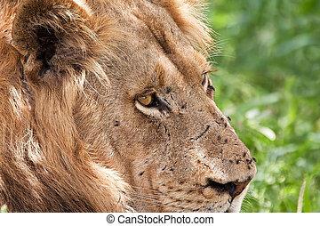 Stående, lejon, manlig