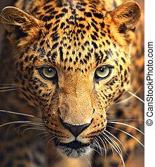 stående, leopard