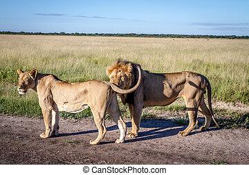 stående, parning, par, lejonen, road.