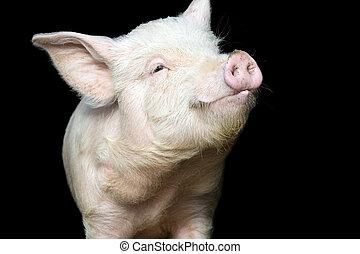 stående, söt, gris