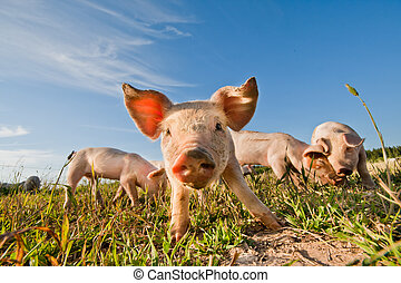 stående, sverige, pigs, pigfarm