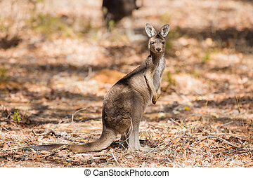 stående, vild, känguru