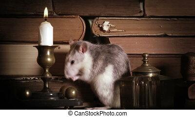 stół, sprytny, myci, książki, stary, szary, szczur
