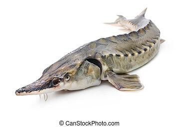 stør, fish