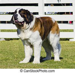 St. Bernard dog - A big beautiful brown and white Saint...