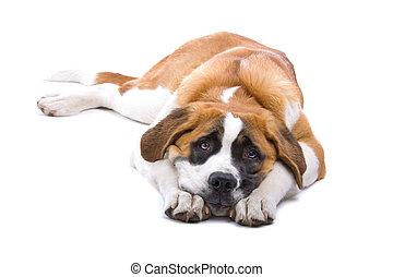 Dog Saint Bernard isolated on a white background