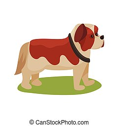 St. Bernard dog, purebred pet animal standing on green grass...