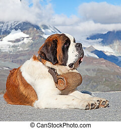 St. Bernard Dog with keg ready for rescue operation