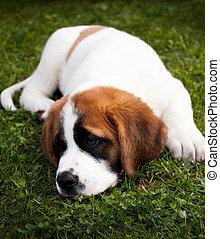 St. Bernard Puppy Lying in Grass