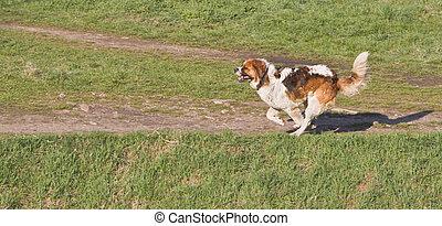 St. Bernard running