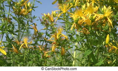 St Johs wort medical herbs flowers