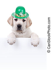 St Patricks Day Labrador puppy dog and sign or banner