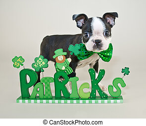 St Patrick's Day Puppy - Cute little Boston terrier puppy ...