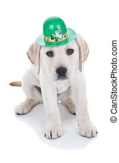 Saint Patrick's Day Labrador retriever puppy dog wearing green hat, isolated on white