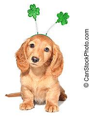 St Patricks day - Miniature dachshund puppy wearing St...