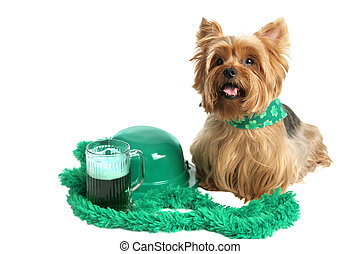 St Patricks Day Yorkie - An adorable yorkie puppy dressed...