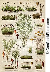 """st. petersburg, musgos, artículo, ruso, ilustración, -, educación, imperio, 1896, """"mosses"""", enciclopedia, publishers"""