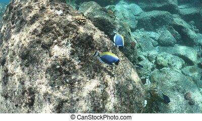 St. Pierre Island powder blue tang - Powder blue tang fishes...