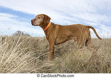 staand, akker, aandachtig, dog, jacht