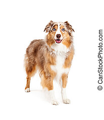 staand, herdershond, australiër, dog
