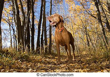 staand, jacht, kleur, dog, bos, herfst