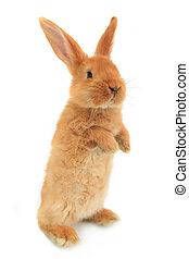 staand, konijn