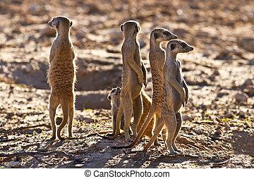 staand, nest, suricate, gezin