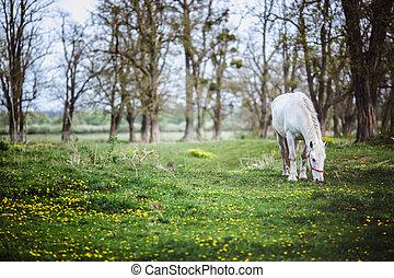 staand, paarde, glade, gele, witte bloemen, bos