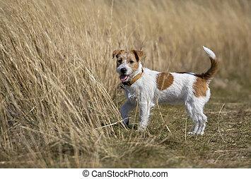 staand, russell, aanhalen, dog, dommekracht, gras