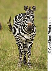 staand, savanne, zebra