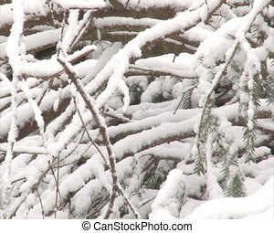 stack coniferous twigs - Pile of fir spruce coniferous tree...