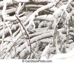 stack coniferous twigs - Pile of fir spruce coniferous tree...