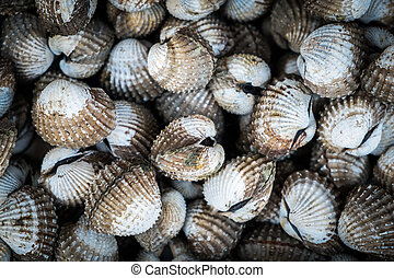 Stack of sea cockle