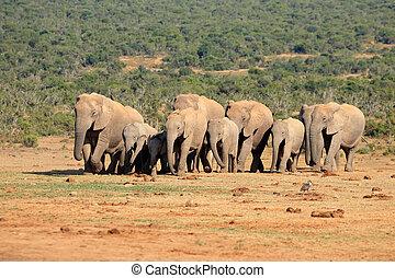 stado, afrykański słoń