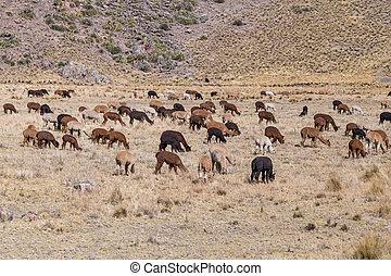 stado, od, lamy, i, alpaki, w, góry andów, peru