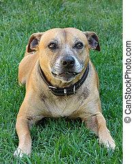 staffi pure breed dog, green lawn, pet series...