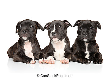 staffordshire, abajo, bull terrier, acostado, perritos